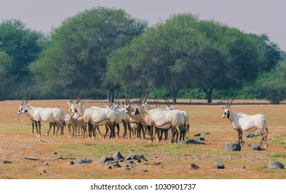 Oryx deer and nature