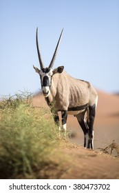An Oryx eating inside the Sossusvlei area of Namibia.