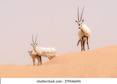 An Oryx family roam the dunes of the Dubai Desert Conservation Area, UAE