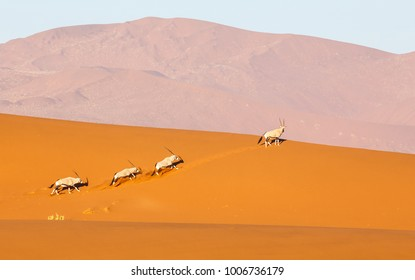 Oryx family running on the top of Deadvlei sand dunes in Namibia