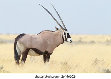 Oryx gazella, Gemsbok standing on the open african plains