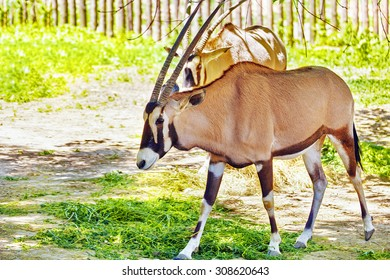 Oryx Gazella and their natural habitat. National Forest.
