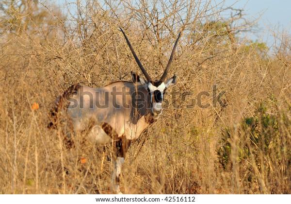oryx gazelle-gemsbok