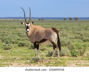 Oryx or Gemsbok antelope