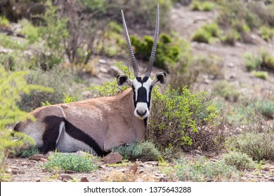 Oryx or Gemsbok (Oryx gazella) close up of a solitary or isolated antelope portrait of  African wildlife lying down in the wild in nature at Karoo National Park, South Africa