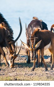 Oryx / Gemsbok (Oryx gazelle) by water, Chobe National Park