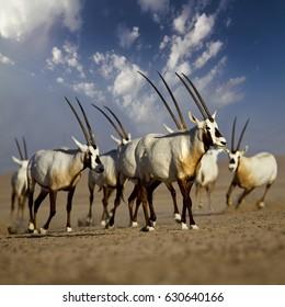 Oryx group in desert, United arab emirates
