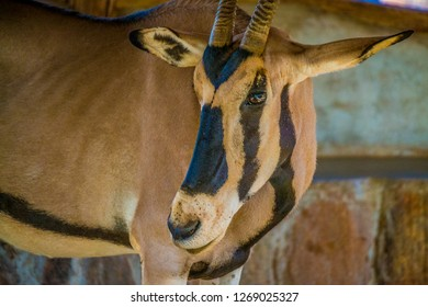 Oryx head close up