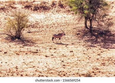 Oryx in the kalahari desert in Namibia, Africa