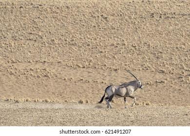 Oryx in the Namib desert.