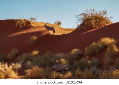 Oryx in Namibia desert dunes