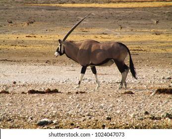 An oryx in the namibian desert
