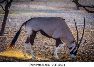 Oryx on Sir Bani Yas Island in Abu Dhabi