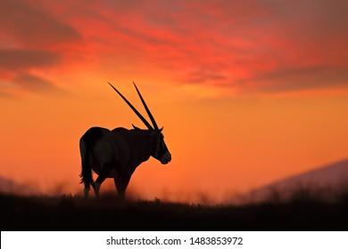 Oryx with orange sand dune evening sunset, Namibia, Africa.