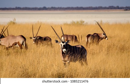 Oryx in the savannah of Etosha National Park in Namibia