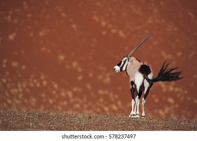 Oryx waving its tail in front of giant dune in Sossusvlei, Namib-Naukluft National Park, Namibia.