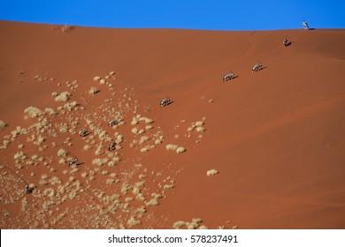 Oryxes climbing giant dune in Sossusvlei, Namib-Naukluft National Park, Namibia.