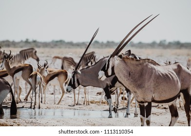 Oryxes and springboks gathered close to the waterhole in african dry land