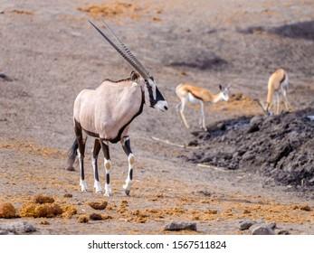 Oryxs - Etosha National Park - Namibia
