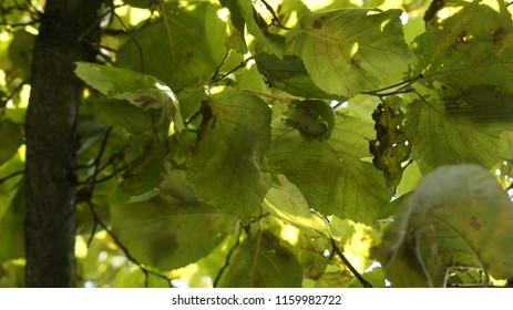 orzech laskowy zieleń drzewo - Shutterstock ID 1159982722