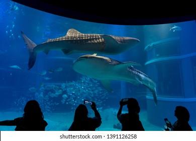 Osaka, Japan - 06/05/2018: People photographing at the Whale Sharks (Rhincodon typus) in Osaka Aquarium Kaiyukan