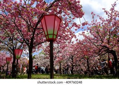 OSAKA, JAPAN -  April 15, 2015 : Cherry blossoms at Japan Mint in Osaka