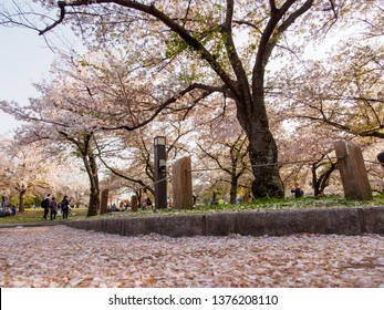 OSAKA, JAPAN - APRIL 3, 2019: Wide angle view of a fallen cherry blossom petals piled up along the floor, also known as Sakura Fubuki. Expo '70 Commemorative Park, Suita. Travel and nature.