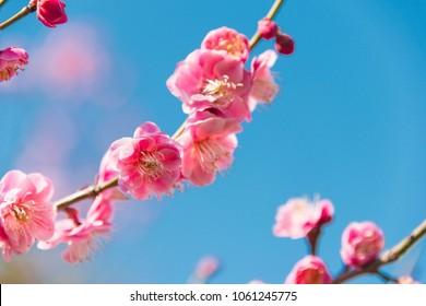 Osaka, Japan - Mar 01 2018: Prunus mume blossoms at Osaka Castle Park in Osaka, Japan. a famous Tourist spot.