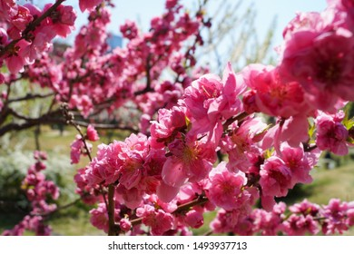 Osaka, Japan : March 2015 : Pink Plum Blossom