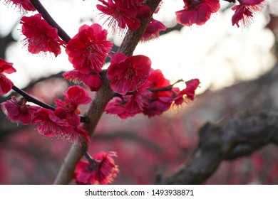 Osaka, Japan : March 2015 : Red Plum Blossom