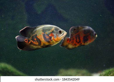 The oscar (Astronotus ocellatus) is a species of fish from the cichlid family known under a variety of common names, including tiger oscar, velvet cichlid, and marble cichlid