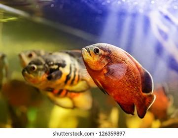Oscar fish (Astronotus ocellatus) swimming underwater