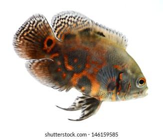 oscar fish isolated on white background
