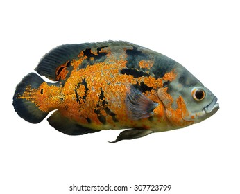 Oscar Fish - South American freshwater fish from the cichlid family, known under a variety of common names including oscar, tiger oscar, velvet cichlid, or marble cichlid, isolated over white
