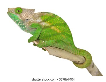 O'shaughnessy Chameleon - Calumma O'shaughnessy - Male