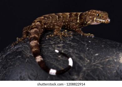 O'Shaughnessy's Gecko (Gonatodes concinnatus)