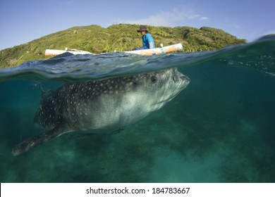 OSLOB, PHILIPPINES - MARCH 26 2014: Whale Shark and Fisherman. Fishermen feed the Whale Sharks as a tourist attraction, earning more through eco tourism than they did by fishing.