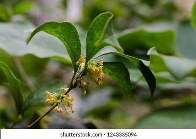 Osmanthus fragrans. Sweet osmanthus, sweet olive, tea olive. Its flowers may be infused with green or black tea leaves to create a scented tea.