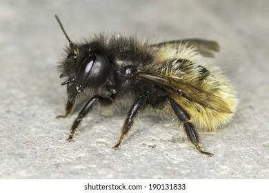 Osmia cornuta / solitaire bee close-up