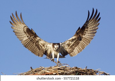 Osprey, a.k.a. Sea Hawk, Fish Hawk, Sea Eagle, flying with wings open approaching its nest, against a background of clear blue sky
