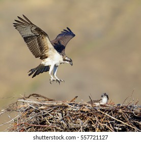 Osprey, a.k.a. Sea Hawk, Fish Hawk, Sea Eagle, flying with wings open as it approaches nest with young hatchling / fledgling