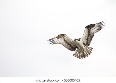 Osprey, a.k.a. Sea Hawk, Fish Hawk, Sea Eagle, flying with wings open approaching its nest, isolated against a background of pale white sky