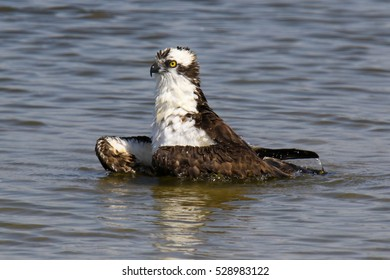 Osprey Bathing/Hitting The Shower