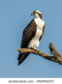 Osprey bird on a branch