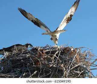 An Osprey bringing twigs to its nest in a Mexican lagoon in Baja