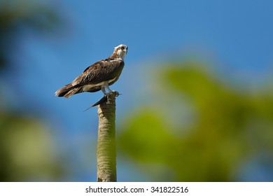 Osprey with catch - fish in its talons, against a blue sky, sitting on dead palm tree