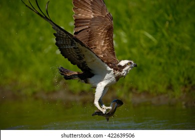 Osprey catching fish. Action scene with osprey in the nature water habitat. Bird of prey with fish in the talons.