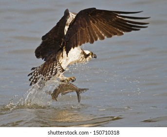Osprey catching fish from James River, Virginia