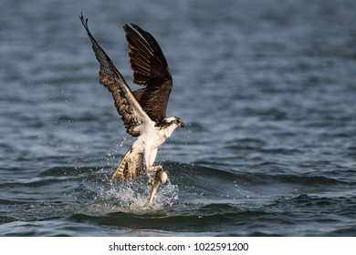 Osprey Catching a Lizard Fish in the Tampa Bay in the Gulf of Mexico in the Atlantic Ocean