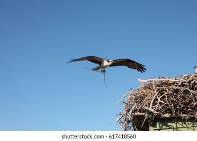An Osprey comes in for a landing with a new tree branch for its nest in a lagoon in MExico